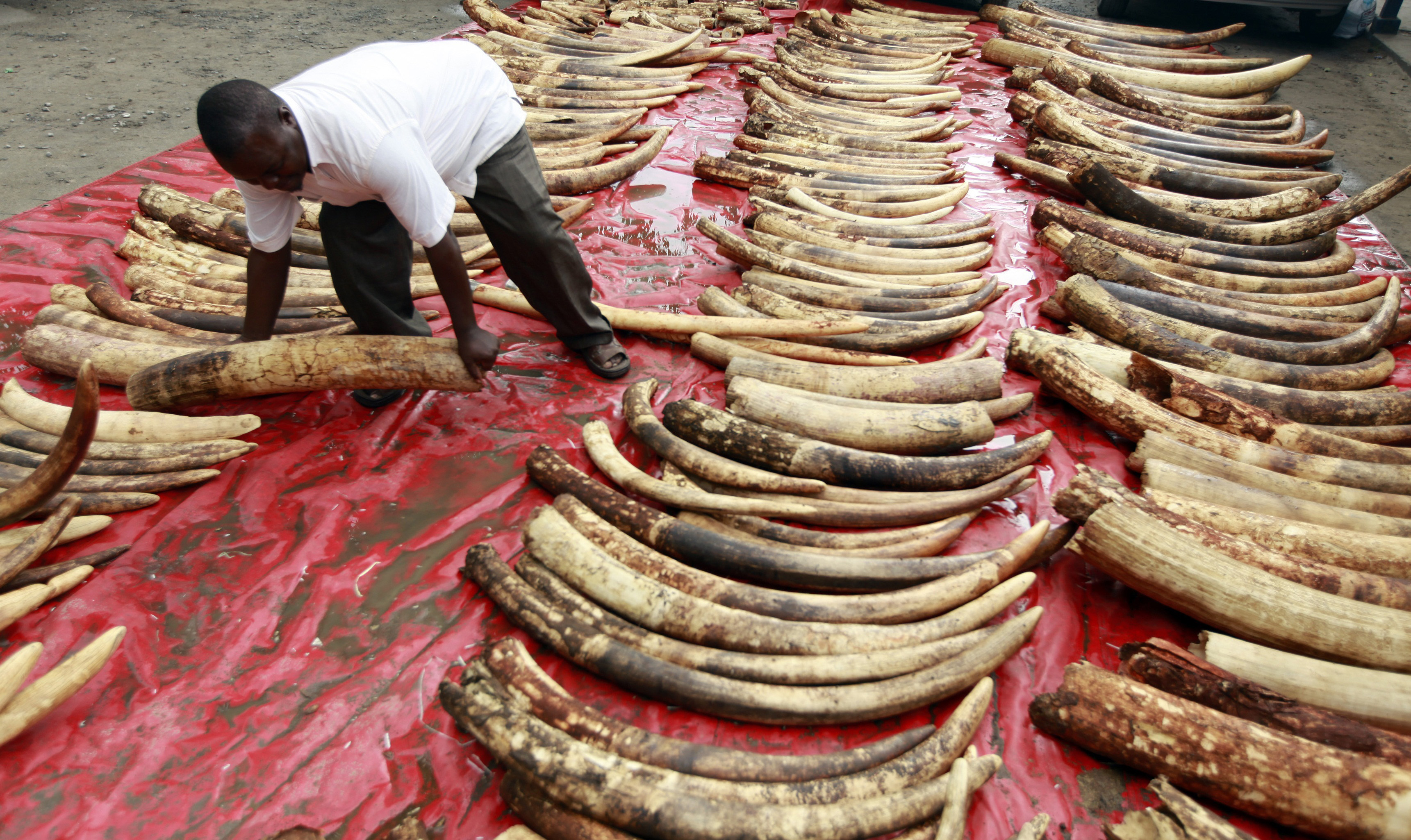The dilemma of destroying ivory as an anti-poaching strategy