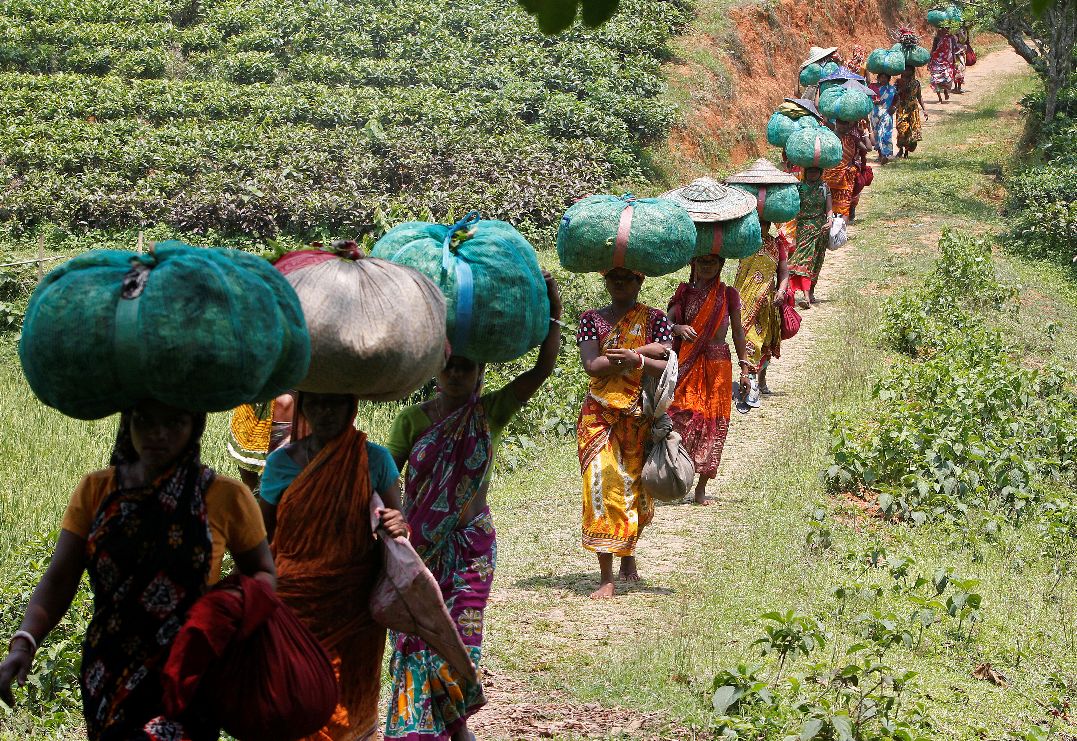 Tea garden workers carry sacks filled with tea leaves at Durgabari Tea Estate on the outskirts of Agartala, India May 4, 2017. REUTERS/Jayanta Dey - RTS153F8