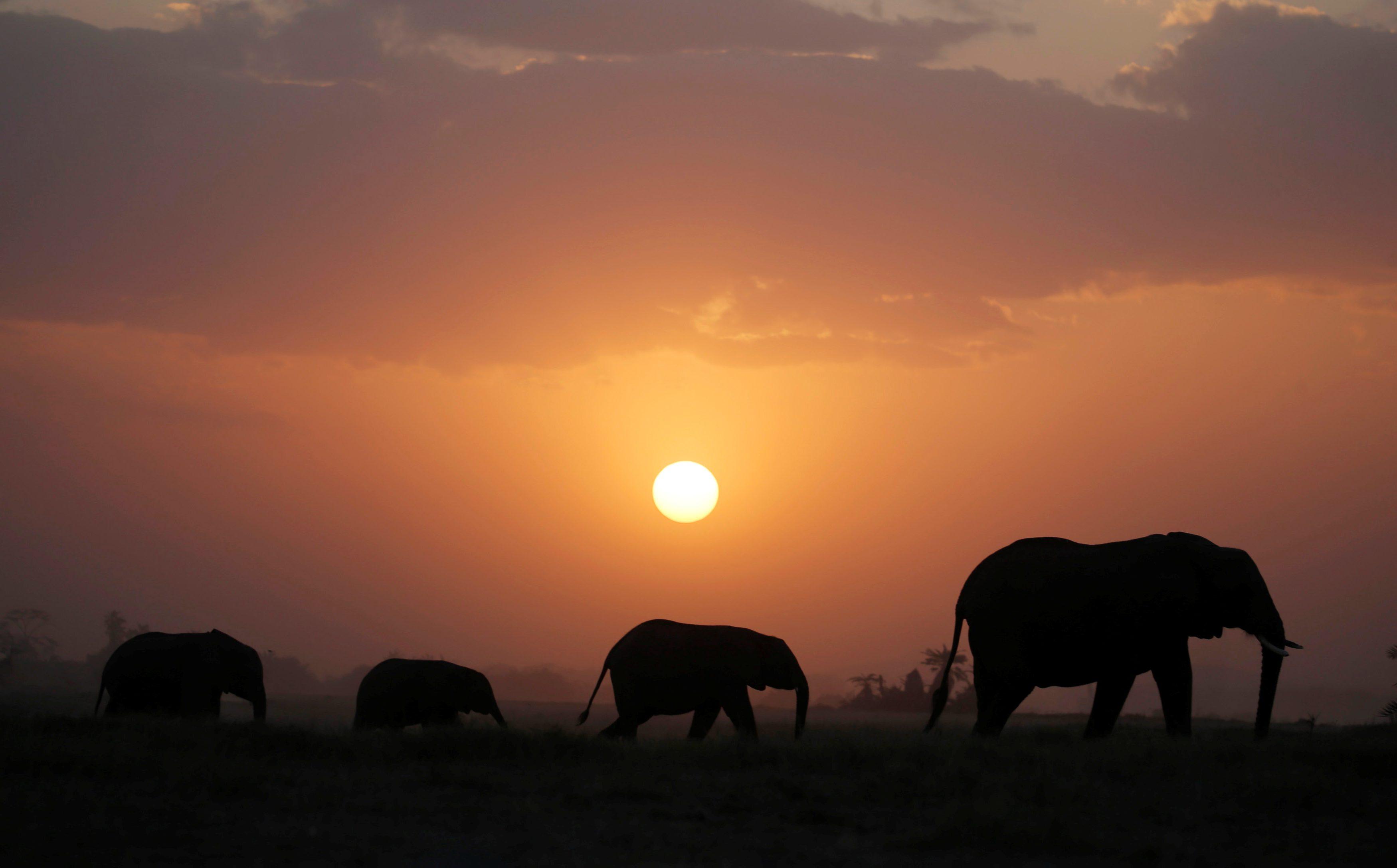 Elephant walk during sunset in Amboseli National park, Kenya August 25, 2016. Picture taken August 25, 2016.  REUTERS/Goran Tomasevic  - S1BETXRBWFAE