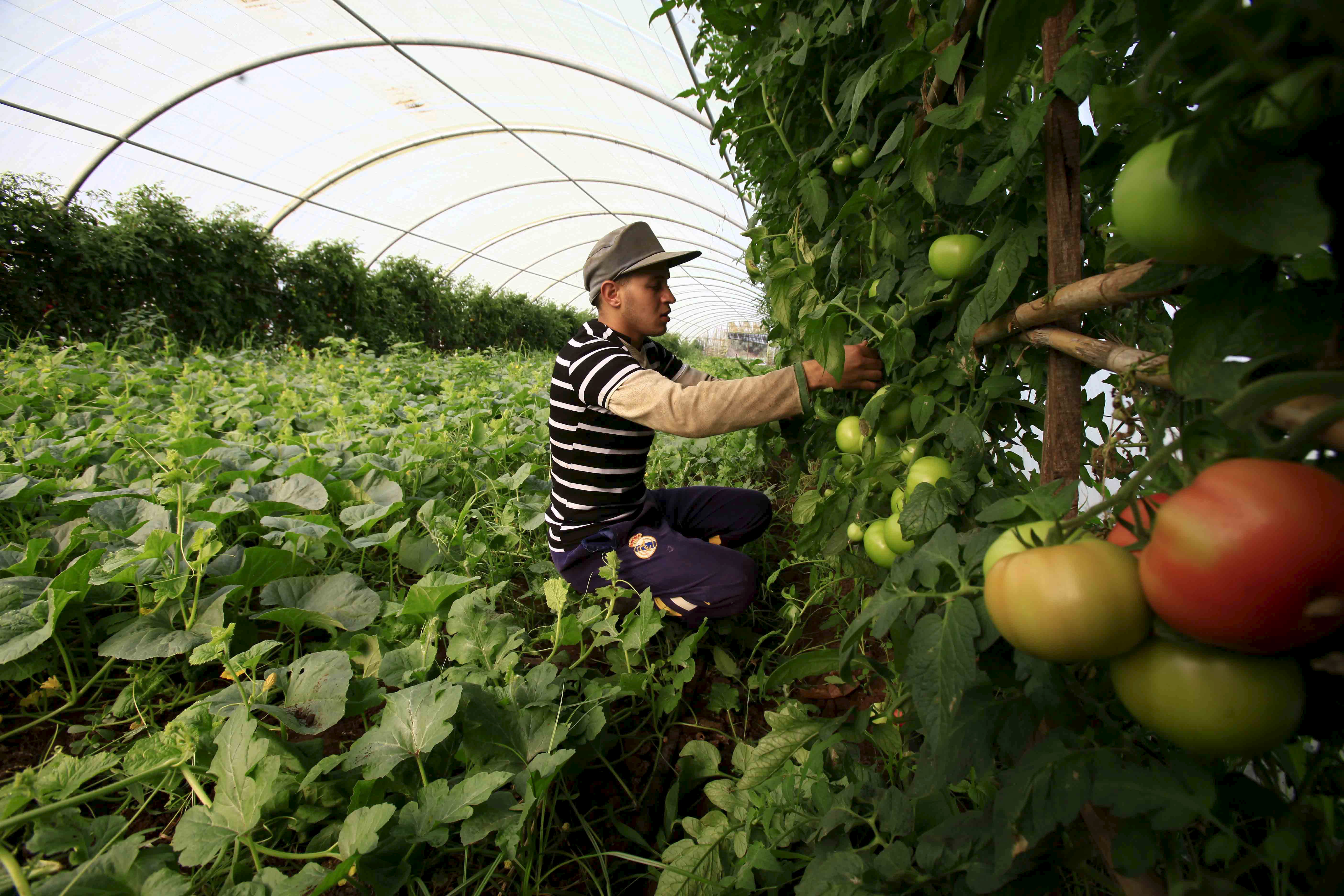 A farmer checks on his crop of tomatos in Tipaza, west of Algiers, Algeria June 3, 2015. Besides falling energy revenues, Algeria also has a growing number of mouths to feed, with the population put at 40 million and increasing by an estimated one million a year. Main foodstuffs, including cereals, sugar and milk are subsidised, but there is no such help for some products such as vegetables, which keeps prices high. Official statistics show the state imports on average five million tonnes of wheat and barley a year, but that figure appears to be climbing. It hit some 7.4 million in 2014. Algeria last year took its first steps towards opening up the farming sector to foreign investors, inviting bids for 16 state-owned farms focused on grains, vegetables, fruit trees and cattle breeding. Picture taken June 3, 2015.  To match story ALGERIA-AGRICULTURE/      REUTERS/Ramzi Boudina - GF10000120888