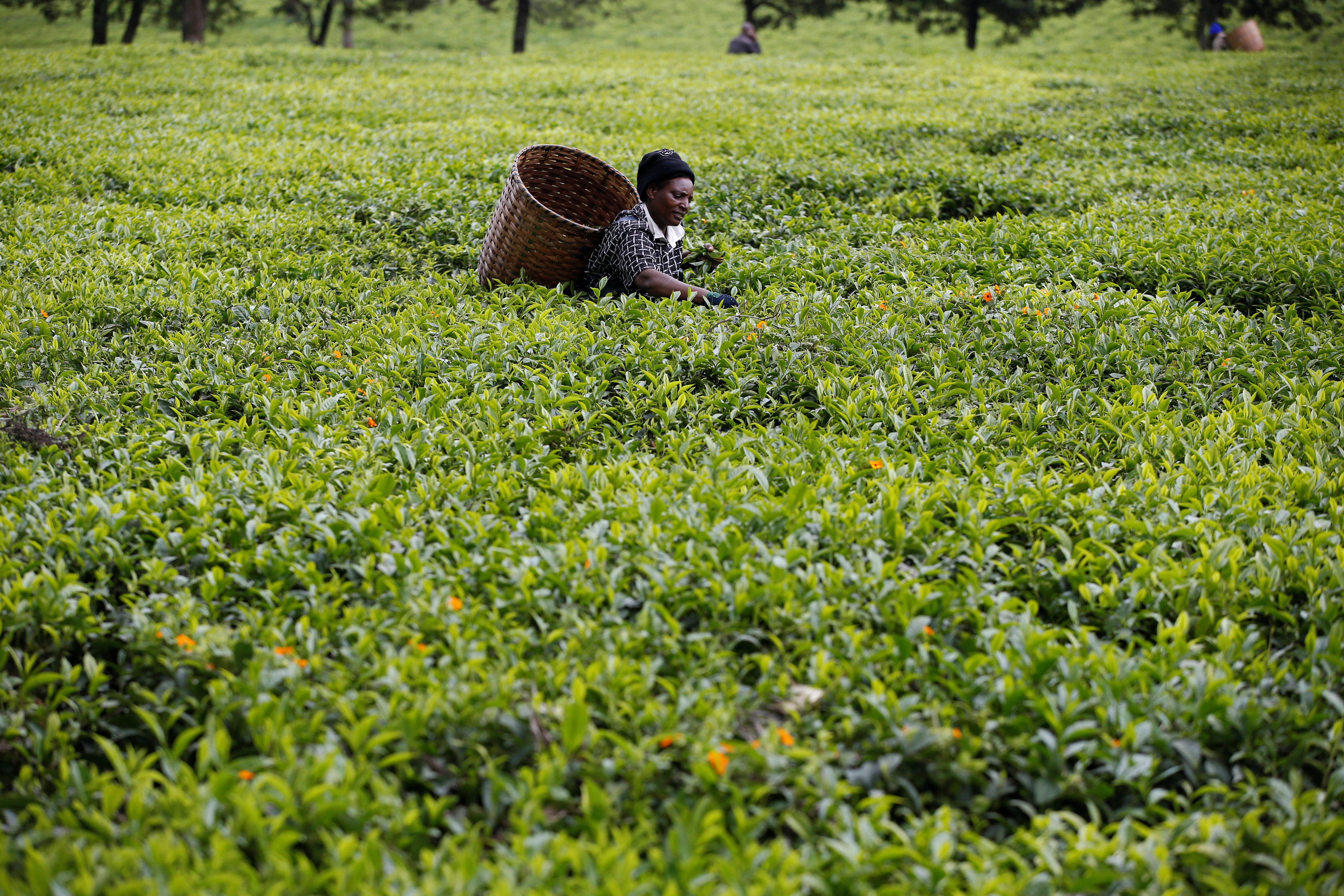 worlds primary tea producer - HD5184×3456