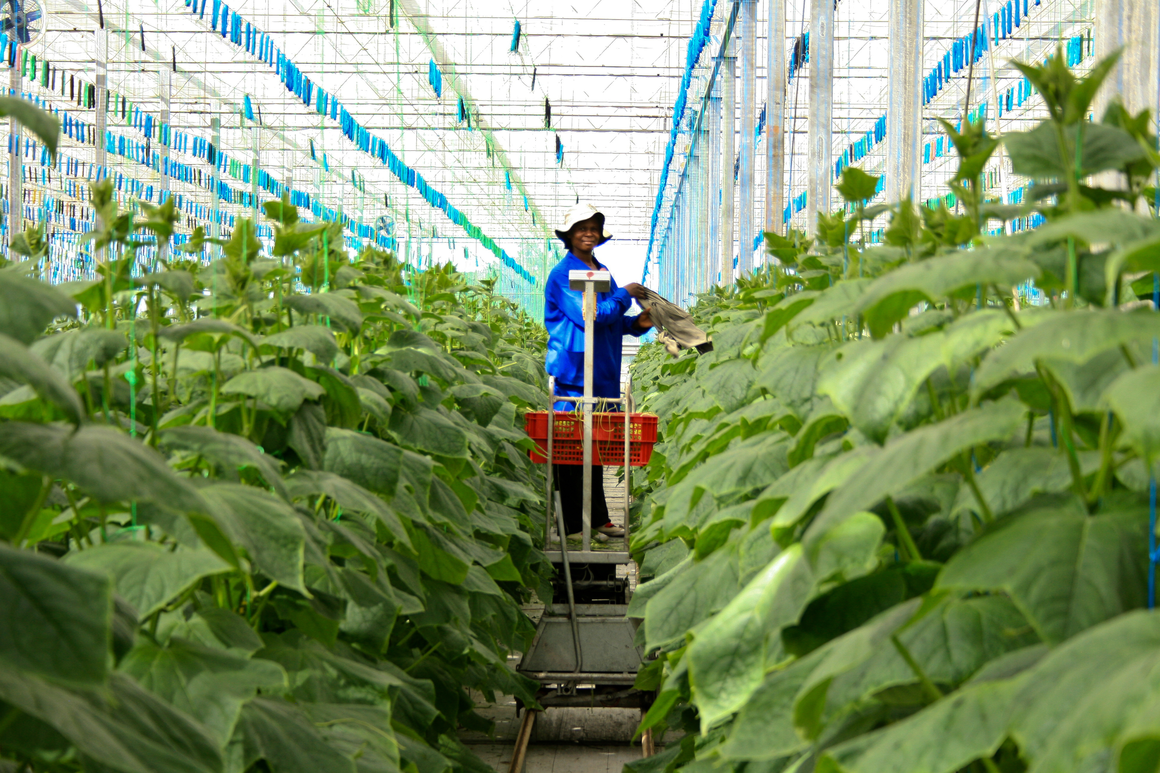Durban, South Africa - 15 August, 2012 - a woman works picking cucumbers in a farm greenhouse.
