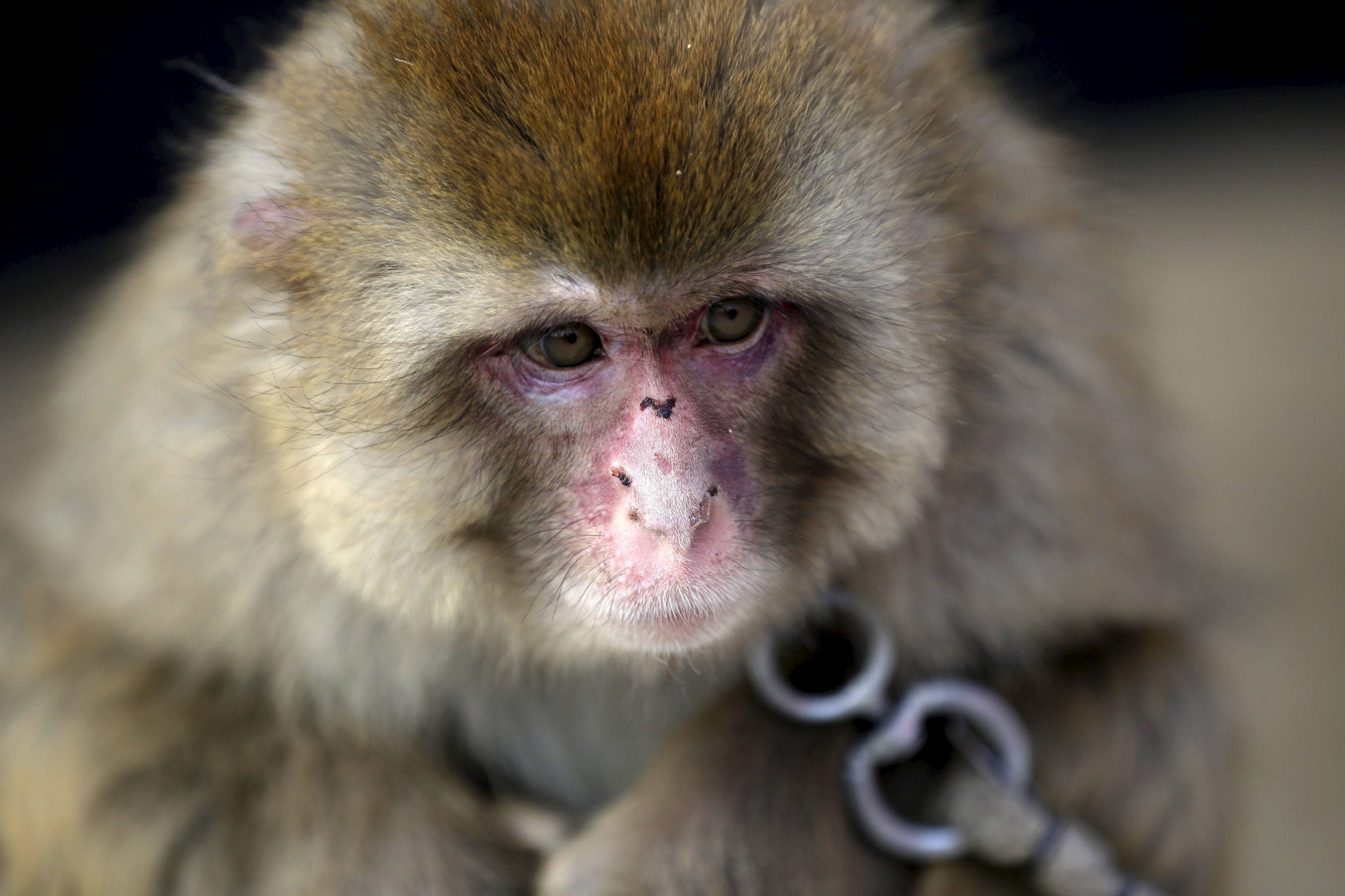 A performing monkey is seen at a monkey farm in Baowan village, Xinye county of China's central Henan province, February 2, 2016. Baowan village of China's central Henan province appears to be your average farming community from the surface, but at a closer look, one can hear monkey hoots from every direction. Although no official number exists, villagers say that they have been a breeding ground for both monkeys and monkey trainers for centuries. Picture taken on February 2, 2016. REUTERS/Jason Lee