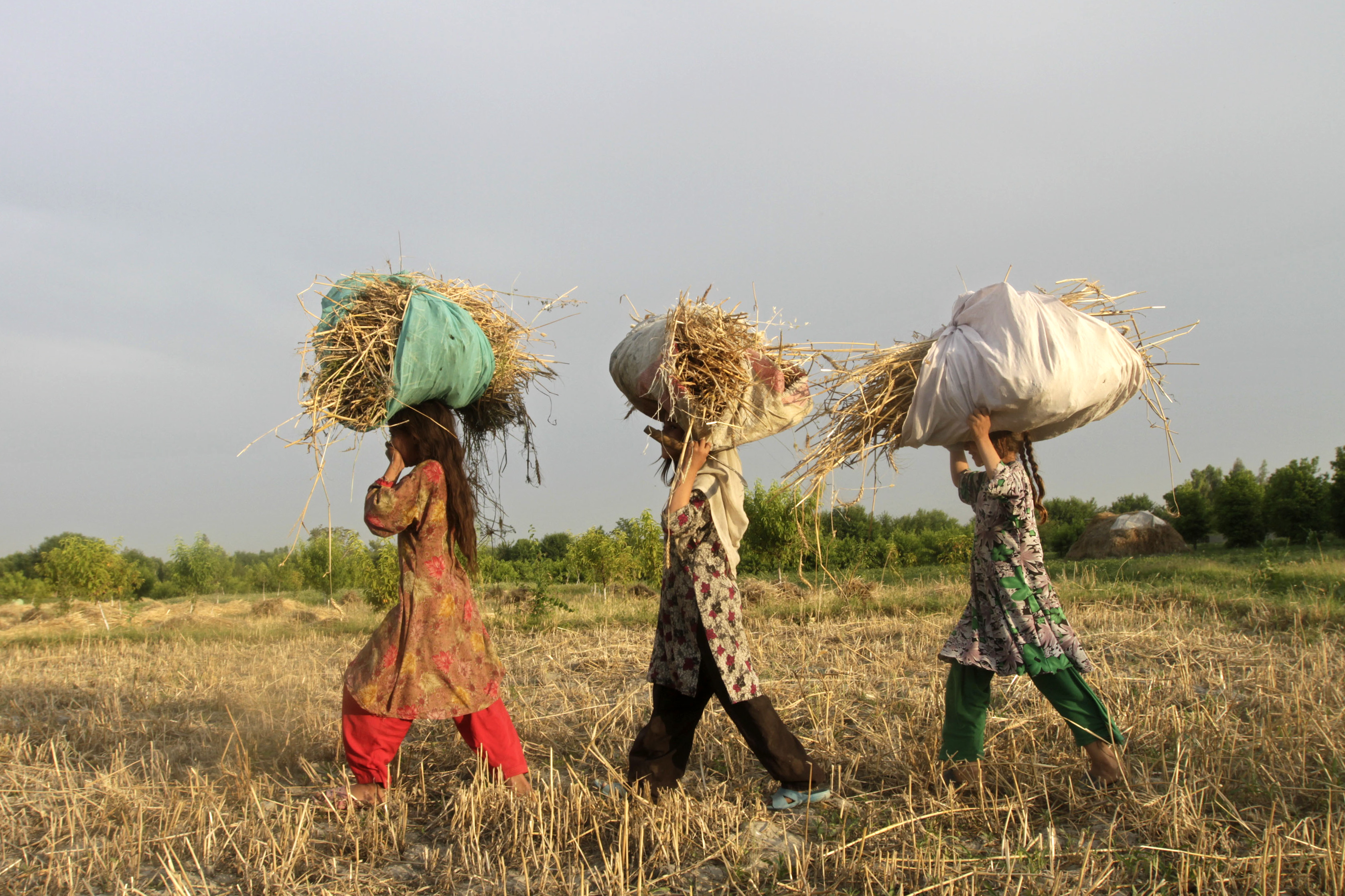 Afghan girls carry wheat as they work on a wheat field in outskirts of Jalalabad province, May 15, 2014. REUTERS/ Parwiz (AFGHANISTAN - Tags: AGRICULTURE SOCIETY)