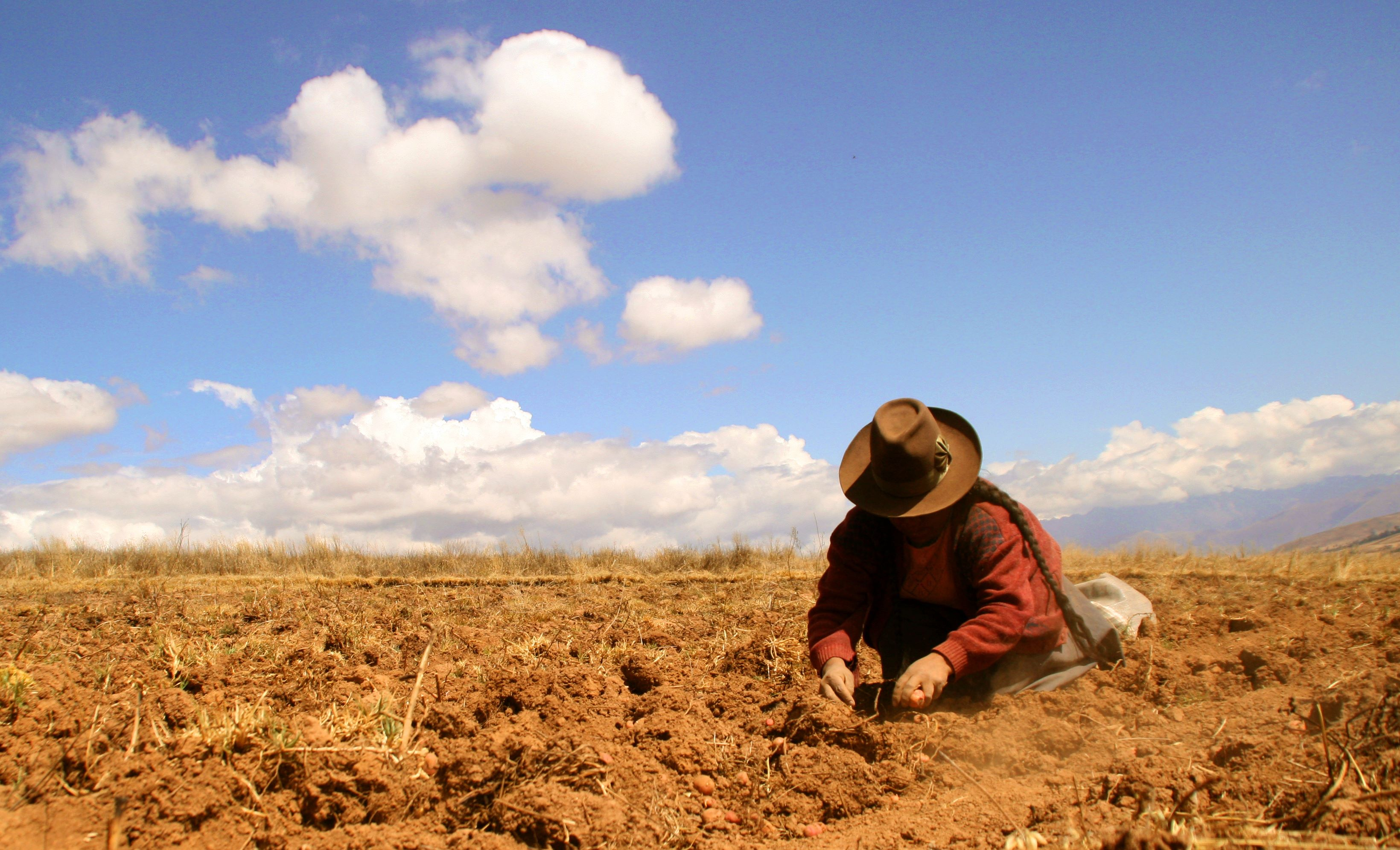 Traditional Potatoe harvest in the Andes of Peru